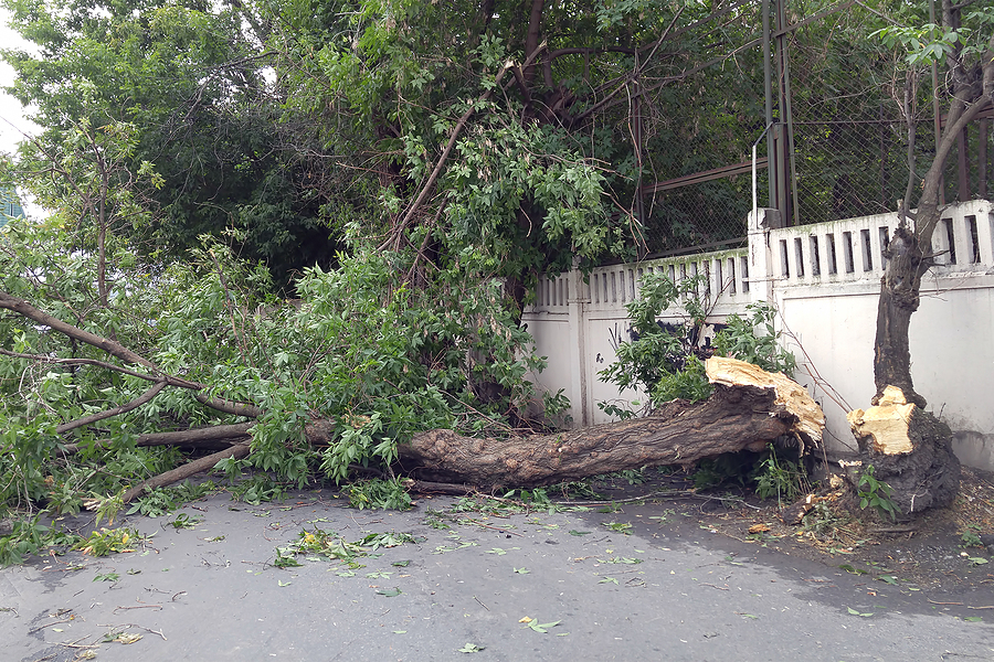tree falls to the ground